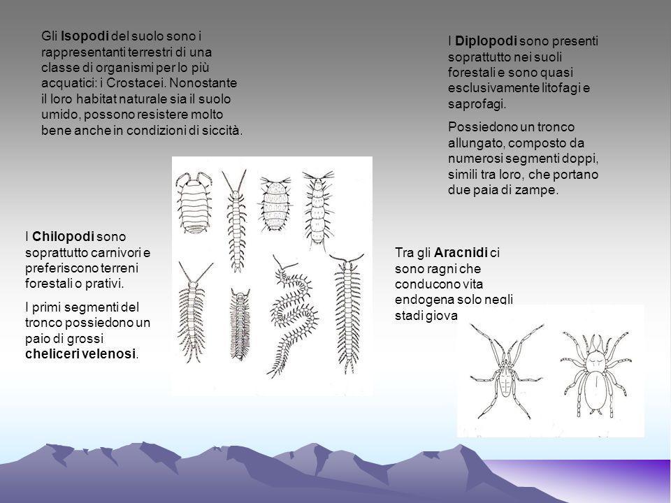 Gli Isopodi del suolo sono i rappresentanti terrestri di una classe di organismi per lo più acquatici: i Crostacei. Nonostante il loro habitat natural