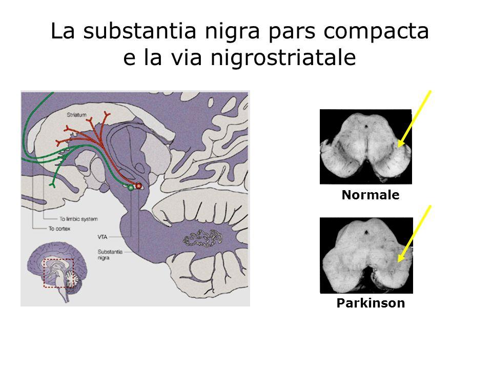 La substantia nigra pars compacta e la via nigrostriatale Normale Parkinson