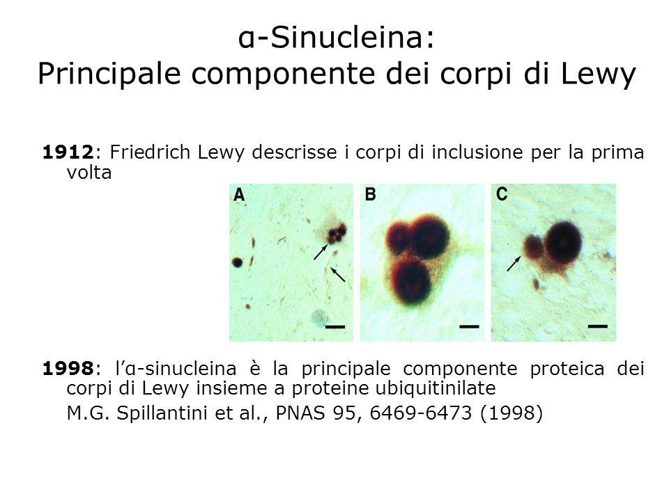 1912: Friedrich Lewy descrisse i corpi di inclusione per la prima volta 1998: lα-sinucleina è la principale componente proteica dei corpi di Lewy insi