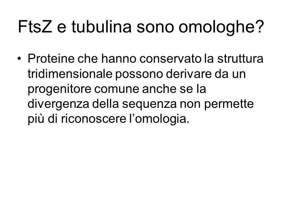 FtsZ e tubulina sono omologhe? Proteine che hanno conservato la struttura tridimensionale possono derivare da un progenitore comune anche se la diverg