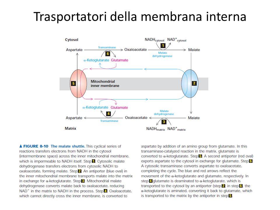 Trasportatori della membrana interna