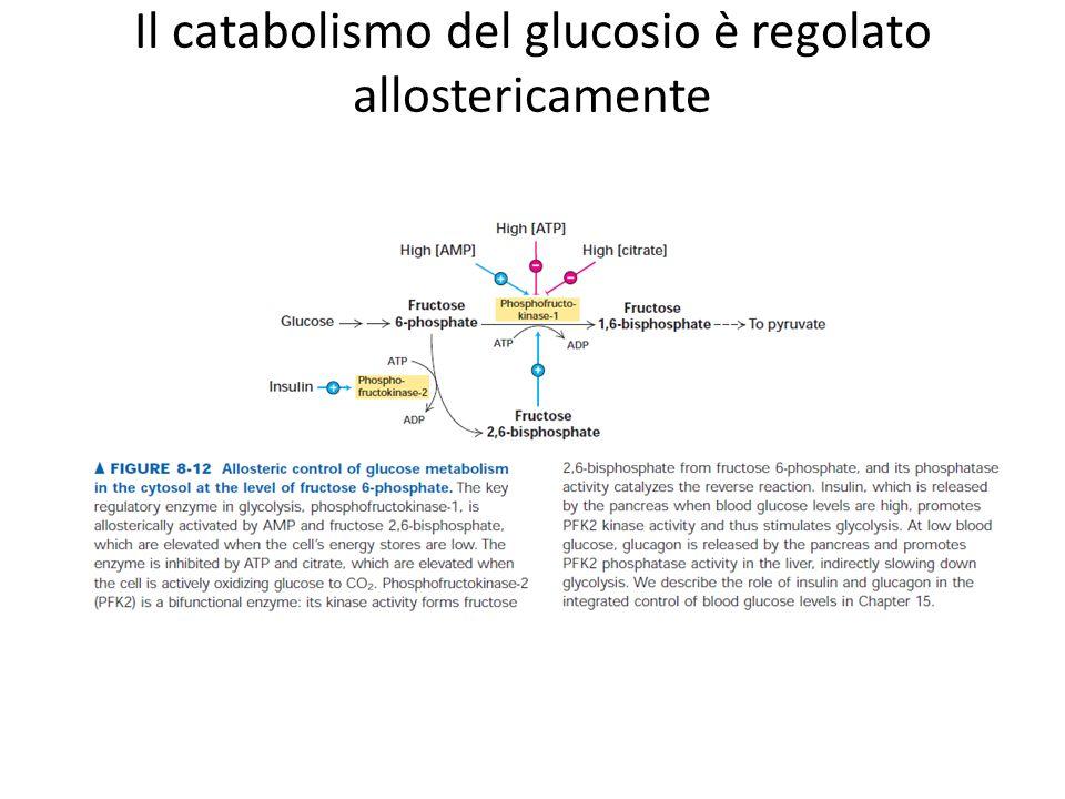 Il catabolismo del glucosio è regolato allostericamente