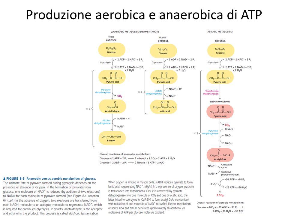 Produzione aerobica e anaerobica di ATP