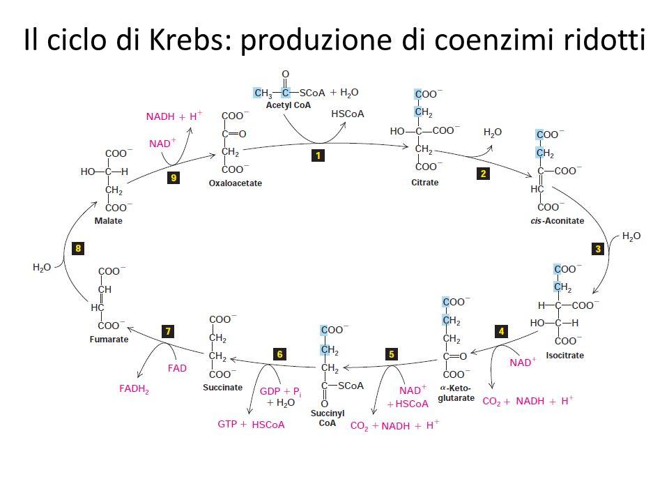 Il ciclo di Krebs: produzione di coenzimi ridotti