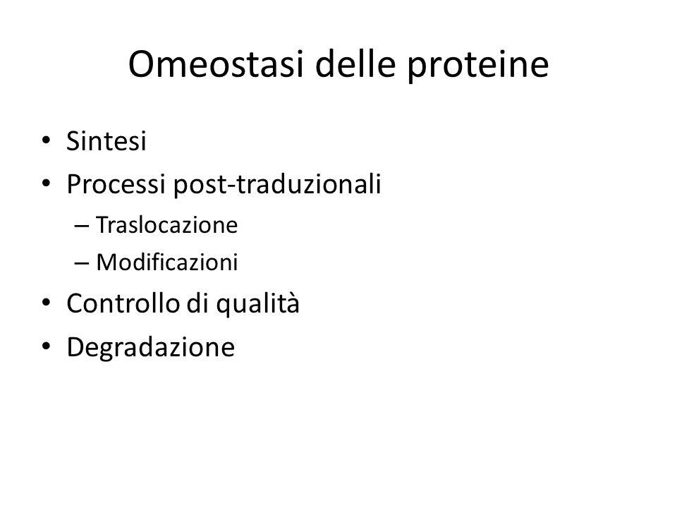 Omeostasi delle proteine Sintesi Processi post-traduzionali – Traslocazione – Modificazioni Controllo di qualità Degradazione