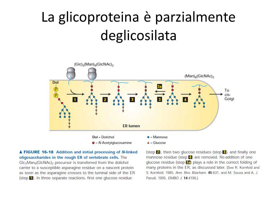 La glicoproteina è parzialmente deglicosilata
