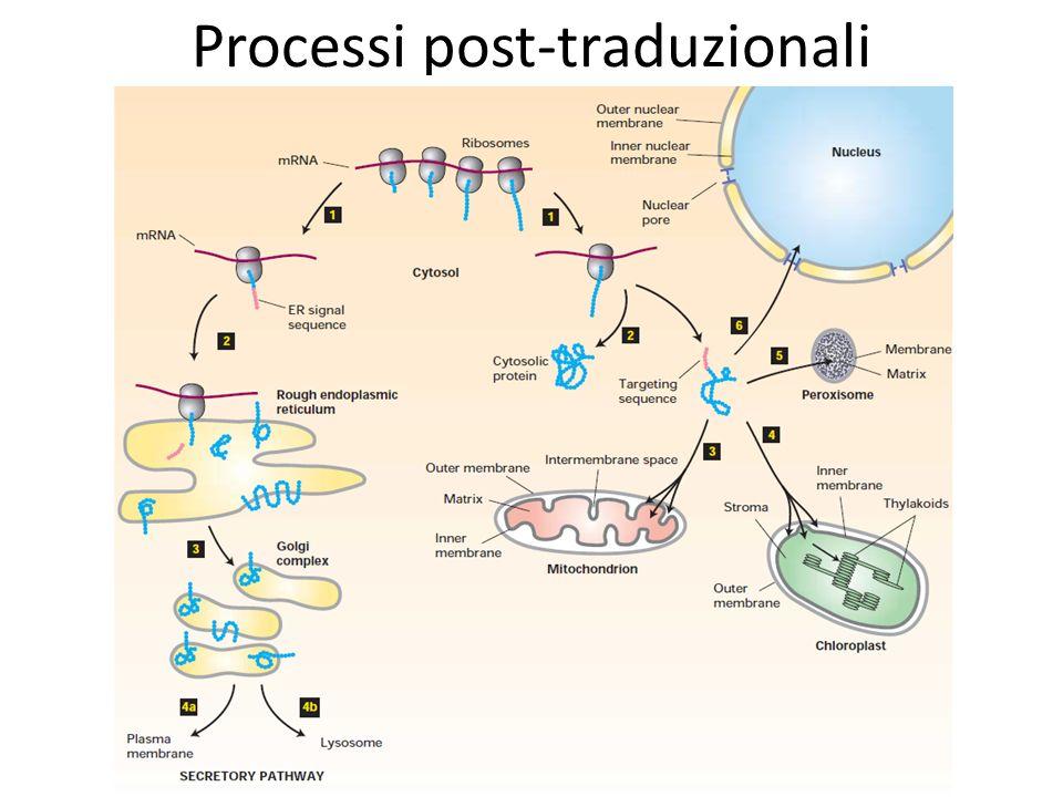 Processi post-traduzionali