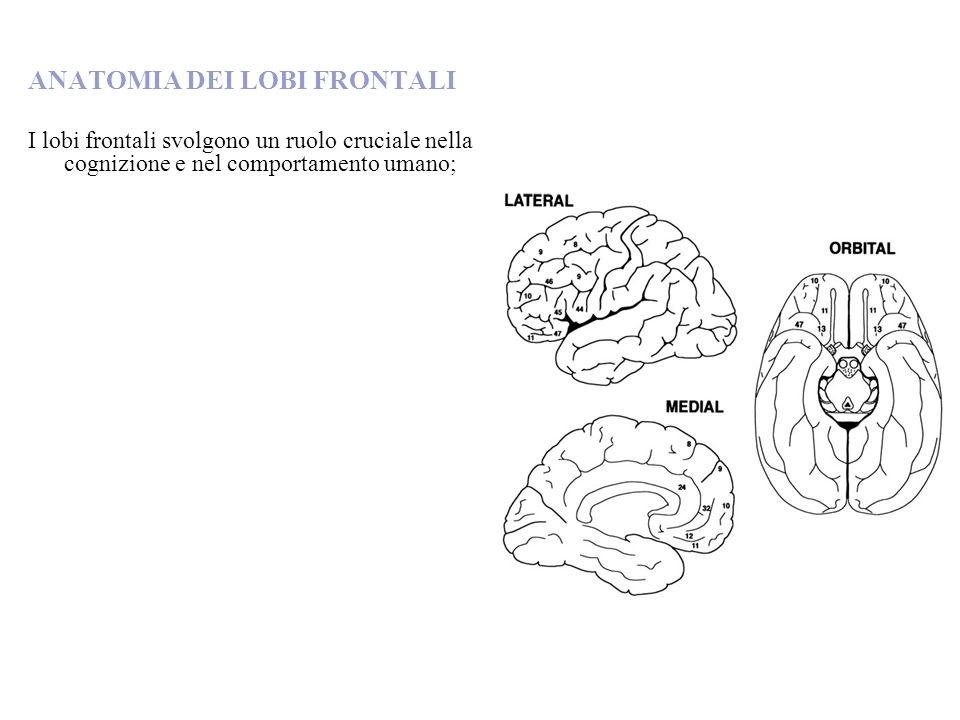 ANATOMIA DEI LOBI FRONTALI I lobi frontali svolgono un ruolo cruciale nella cognizione e nel comportamento umano;