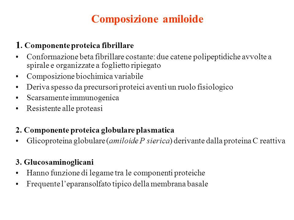 Composizione amiloide 1. Componente proteica fibrillare Conformazione beta fibrillare costante: due catene polipeptidiche avvolte a spirale e organizz