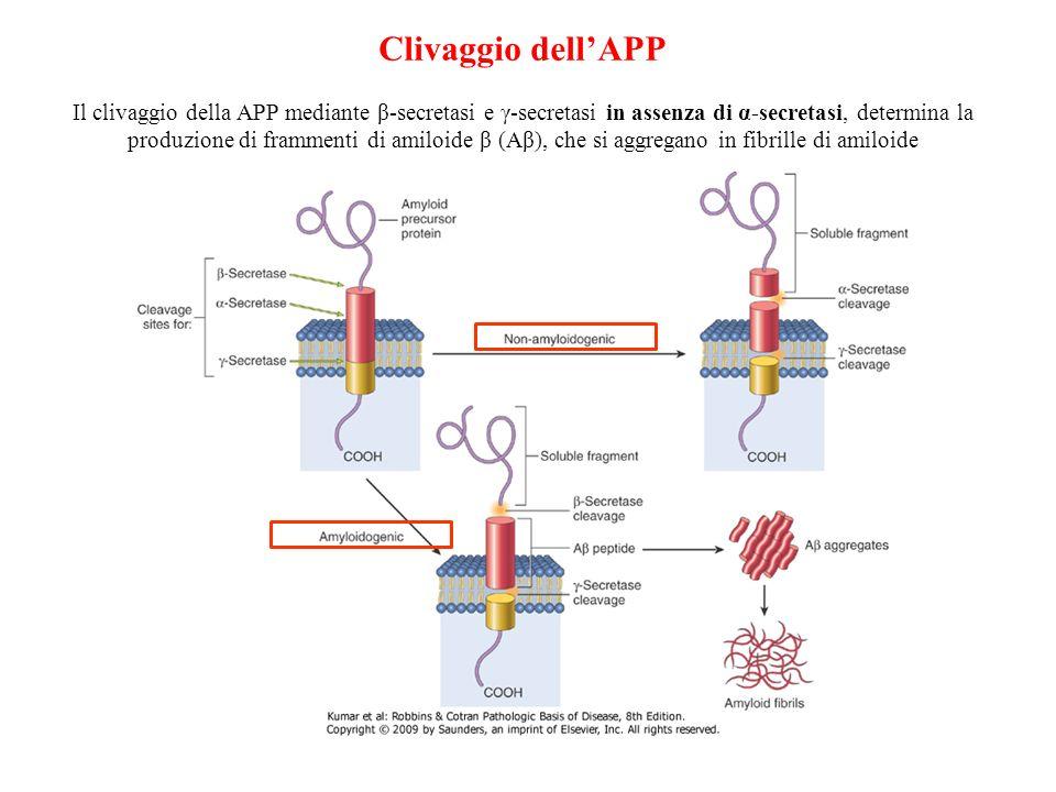 Clivaggio dellAPP Il clivaggio della APP mediante β-secretasi e γ-secretasi in assenza di α-secretasi, determina la produzione di frammenti di amiloid