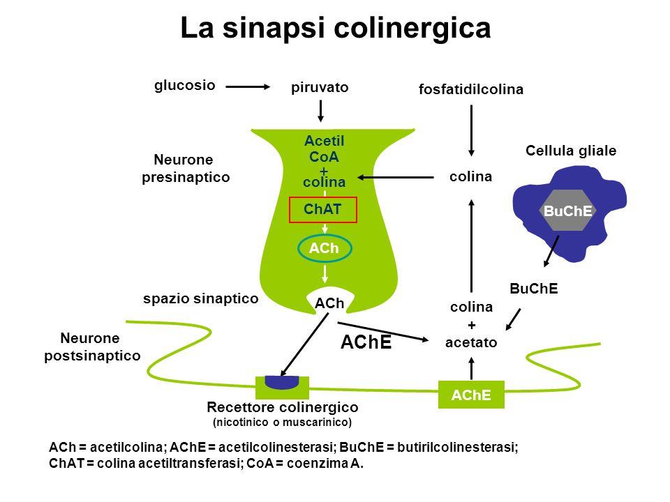 La sinapsi colinergica ACh = acetilcolina; AChE = acetilcolinesterasi; BuChE = butirilcolinesterasi; ChAT = colina acetiltransferasi; CoA = coenzima A