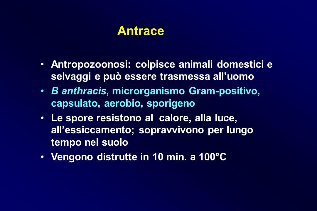 Antrace Antropozoonosi: colpisce animali domestici e selvaggi e può essere trasmessa alluomo B anthracis, microrganismo Gram-positivo, capsulato, aero