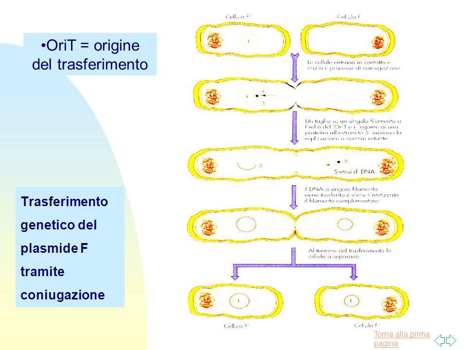 Torna alla prima pagina Trasferimento genetico del plasmide F tramite coniugazione OriT = origine del trasferimento