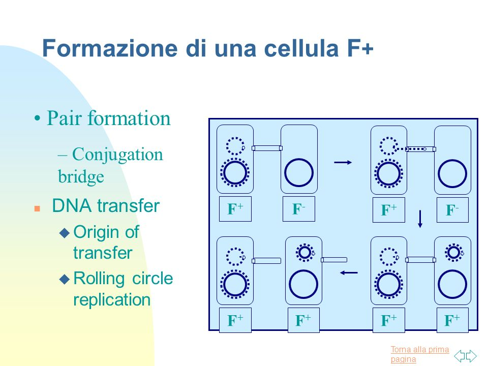 Torna alla prima pagina Formazione di una cellula F + n DNA transfer u Origin of transfer u Rolling circle replication Pair formation – Conjugation br