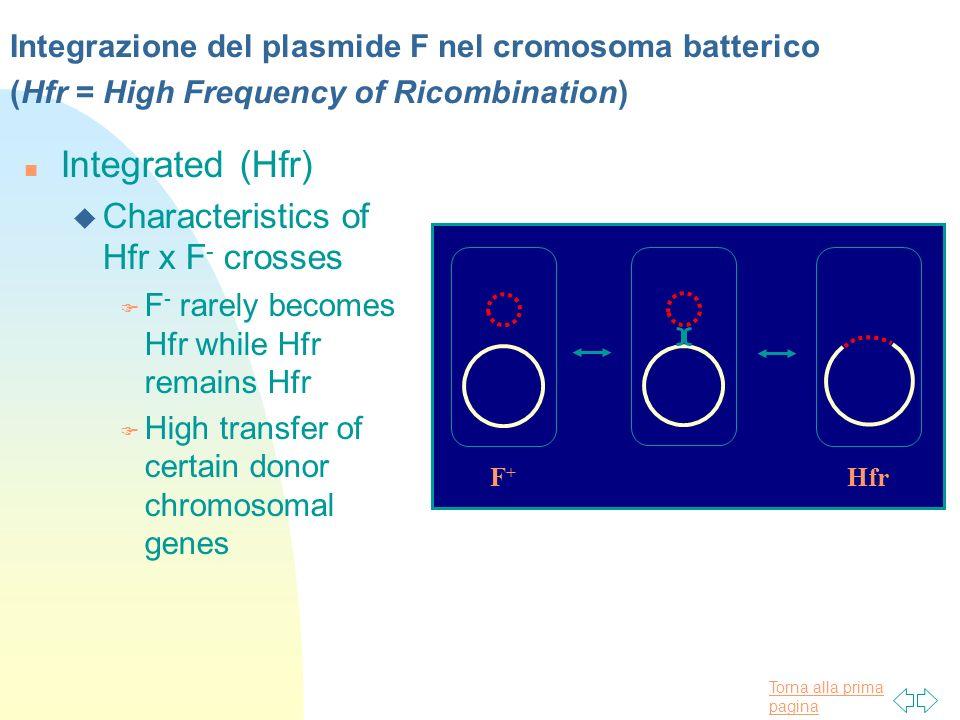 Torna alla prima pagina Integrazione del plasmide F nel cromosoma batterico (Hfr = High Frequency of Ricombination) n Integrated (Hfr) u Characteristi