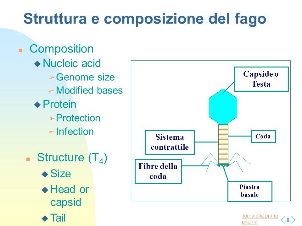 Torna alla prima pagina Struttura e composizione del fago n Composition u Nucleic acid F Genome size F Modified bases u Protein F Protection F Infecti