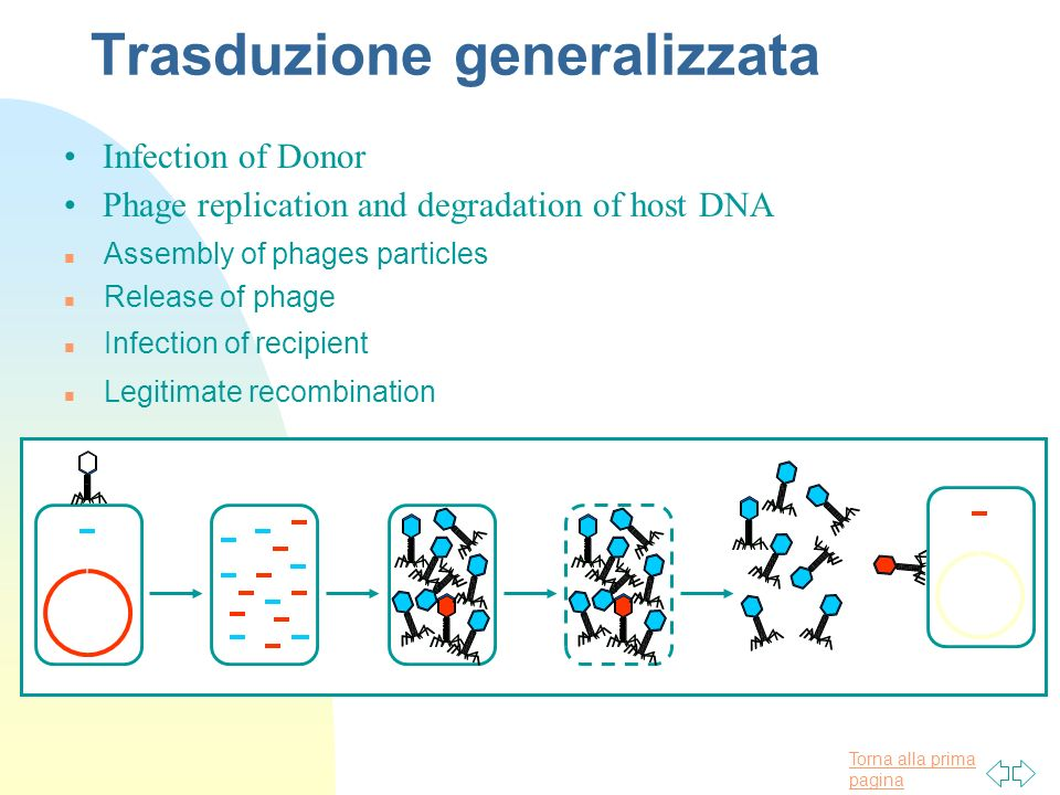 Torna alla prima pagina Trasduzione generalizzata n Release of phage Phage replication and degradation of host DNA n Assembly of phages particles n In