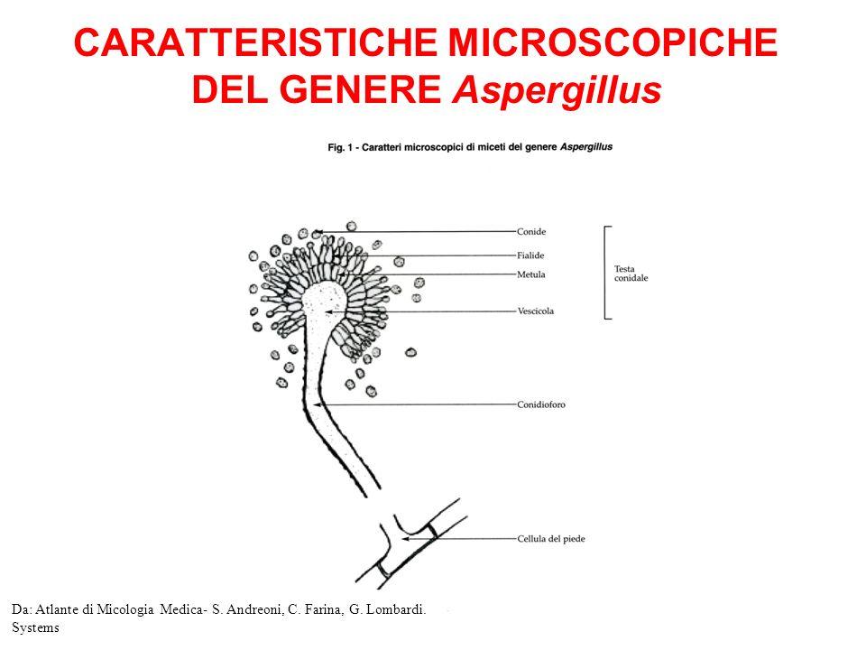 CARATTERISTICHE MICROSCOPICHE DEL GENERE Aspergillus Da: Atlante di Micologia Medica- S.