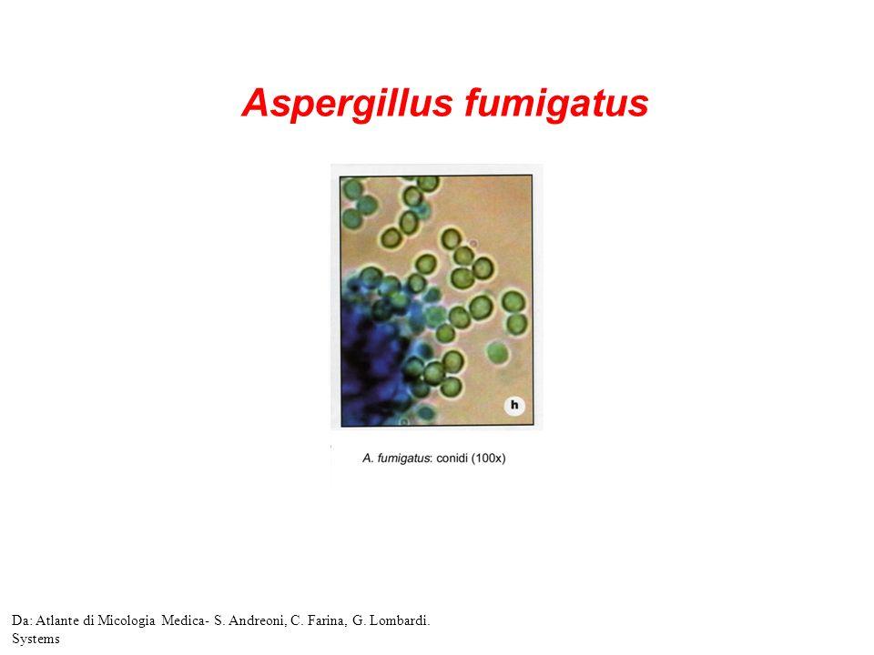 Aspergillus fumigatus Da: Atlante di Micologia Medica- S. Andreoni, C. Farina, G. Lombardi. Systems