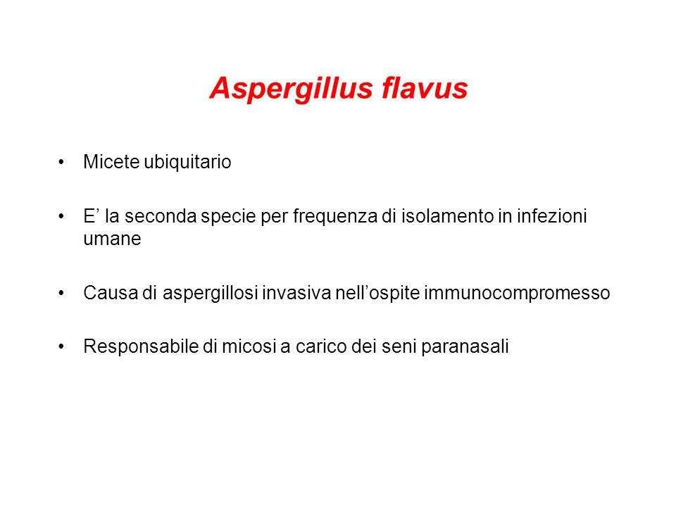 Aspergillus flavus Micete ubiquitario E la seconda specie per frequenza di isolamento in infezioni umane Causa di aspergillosi invasiva nellospite immunocompromesso Responsabile di micosi a carico dei seni paranasali
