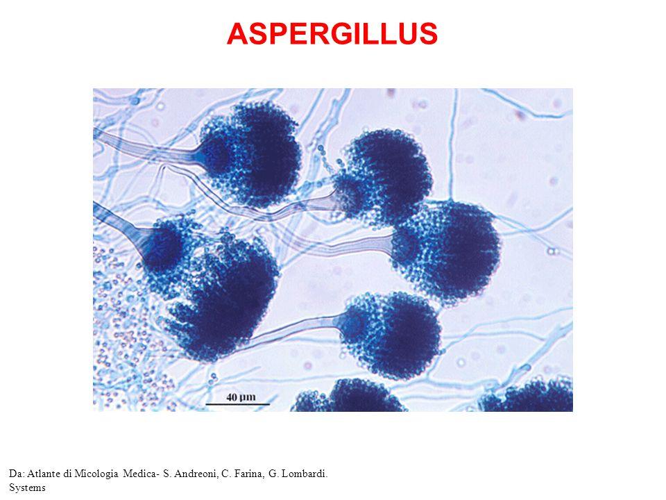 Aspergillus nidulans Da. Atlante di Micologia Medica- S. Andreoni, C. Farina, G. Lombardi. Systems