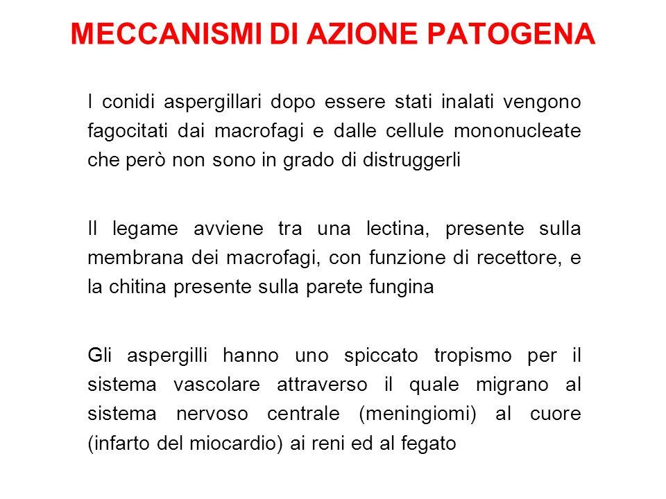 MECCANISMI DI AZIONE PATOGENA I conidi aspergillari dopo essere stati inalati vengono fagocitati dai macrofagi e dalle cellule mononucleate che però non sono in grado di distruggerli Il legame avviene tra una lectina, presente sulla membrana dei macrofagi, con funzione di recettore, e la chitina presente sulla parete fungina Gli aspergilli hanno uno spiccato tropismo per il sistema vascolare attraverso il quale migrano al sistema nervoso centrale (meningiomi) al cuore (infarto del miocardio) ai reni ed al fegato