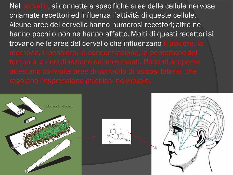 Nel cervello, si connette a specifiche aree delle cellule nervose chiamate recettori ed influenza lattività di queste cellule.