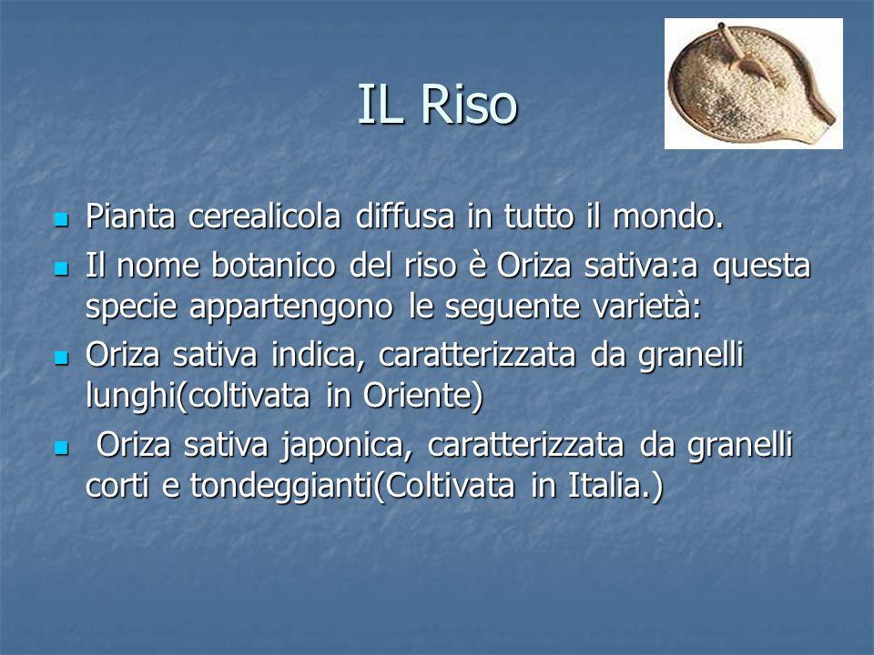 IL Riso Pianta cerealicola diffusa in tutto il mondo. Pianta cerealicola diffusa in tutto il mondo. Il nome botanico del riso è Oriza sativa:a questa