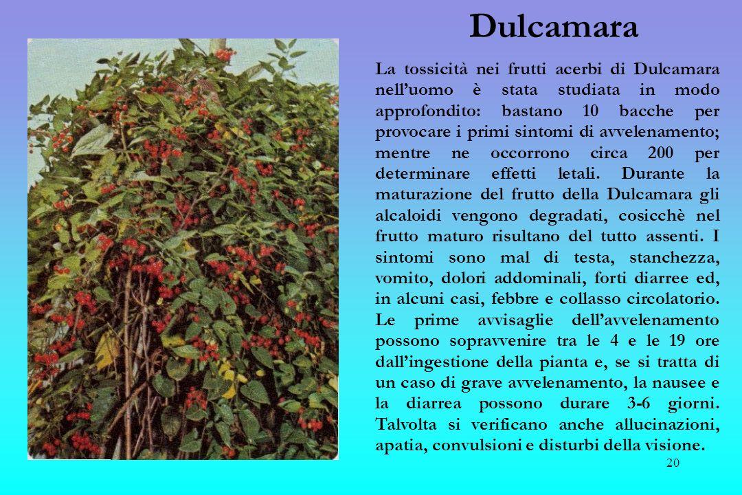 21 Tasso Il tasso, legno conosciuto e apprezzato per farne archi, ( in greco) e una pianta talmente velenosa da aver fornito letimo tossico.