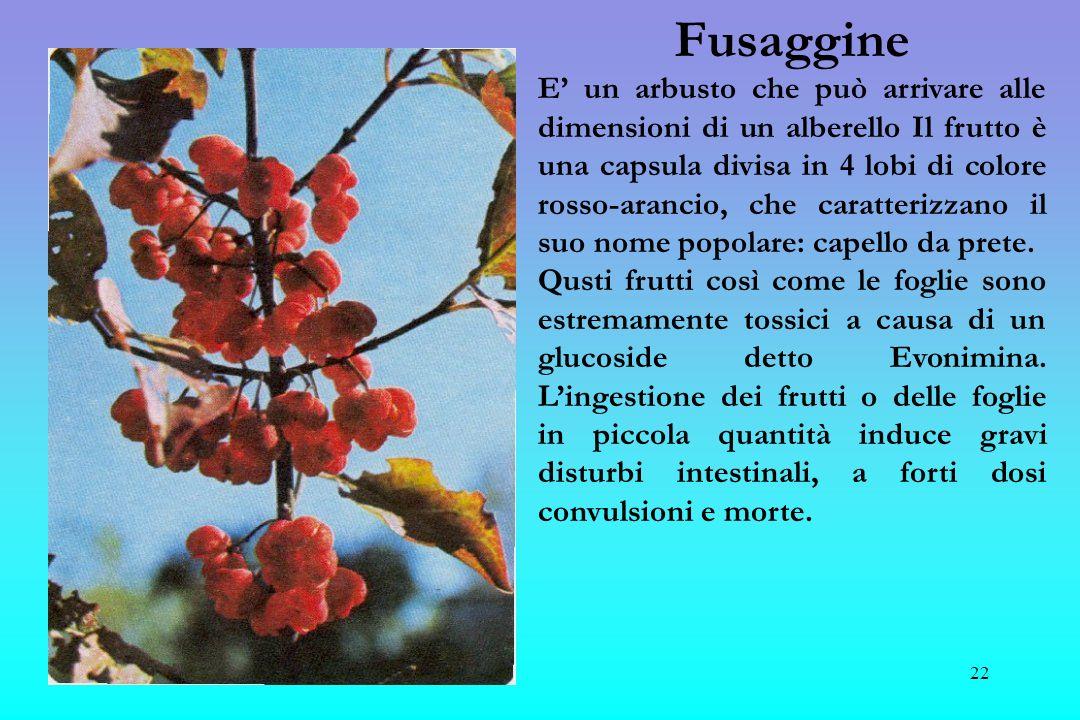 23 Lauroceraso Pianta estremamente pericolosa in quanto produce frutti identici alle ciliegie, con sapore abbastanza dolce da piacere ai bambini.
