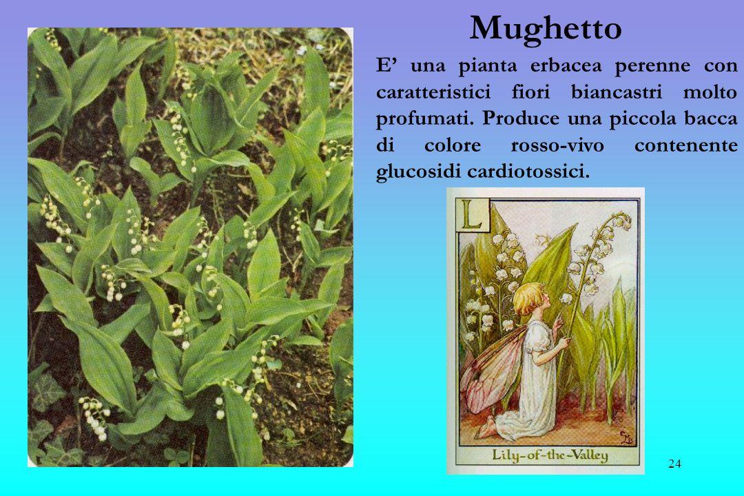 25 Ricino E una pianta arborea che nei paesi caldi raggiunge anche i 10 mt, mentre in Italia si comporta come unerbacea annuale e il suo fusto rossastro non raggiunge i 2 mt di altezza.