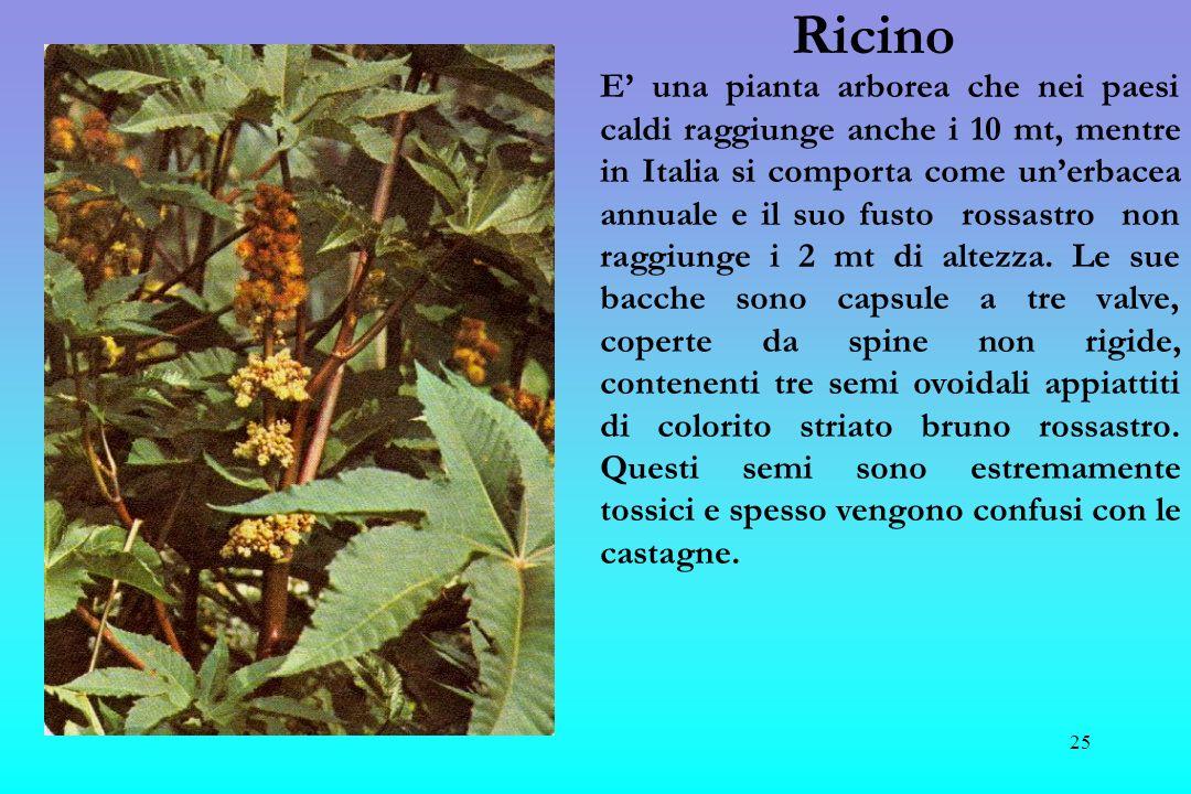 26 Sabina Arbusto fronzuto detto cipresso dei maghi in quanto nel passato sia le foglie che le sue bacche erano utilizzate per produrre essenze abortive e in grado, con sole 6 gocce, di fare morire un uomo.
