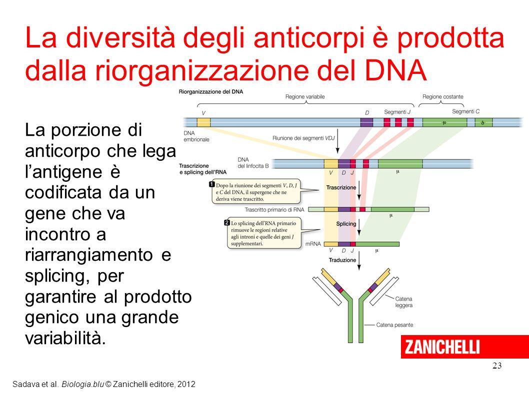 23 Sadava et al. Biologia.blu © Zanichelli editore, 2012 La porzione di anticorpo che lega lantigene è codificata da un gene che va incontro a riarran
