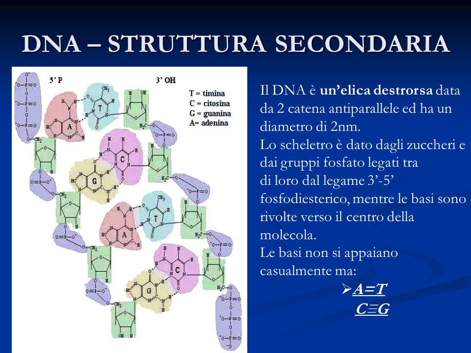 DNA – STRUTTURA SECONDARIA Il DNA è unelica destrorsa data da 2 catena antiparallele ed ha un diametro di 2nm. Lo scheletro è dato dagli zuccheri e da