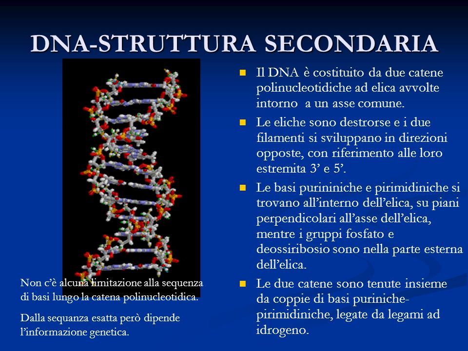 DNA-STRUTTURA SECONDARIA Il DNA è costituito da due catene polinucleotidiche ad elica avvolte intorno a un asse comune. Le eliche sono destrorse e i d