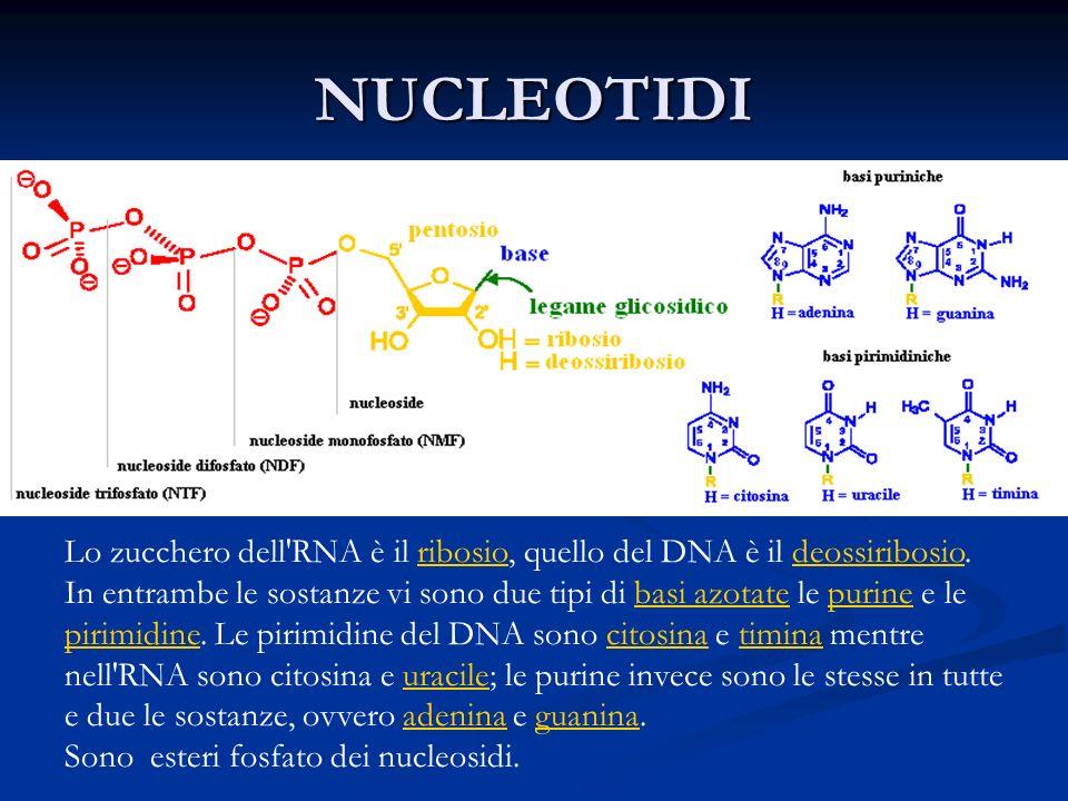 NUCLEOTIDI Lo zucchero dell RNA è il ribosio, quello del DNA è il deossiribosio.ribosiodeossiribosio In entrambe le sostanze vi sono due tipi di basi azotate le purine e le pirimidine.