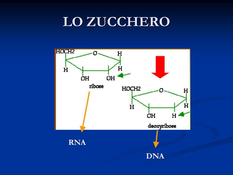 LO ZUCCHERO RNA DNA