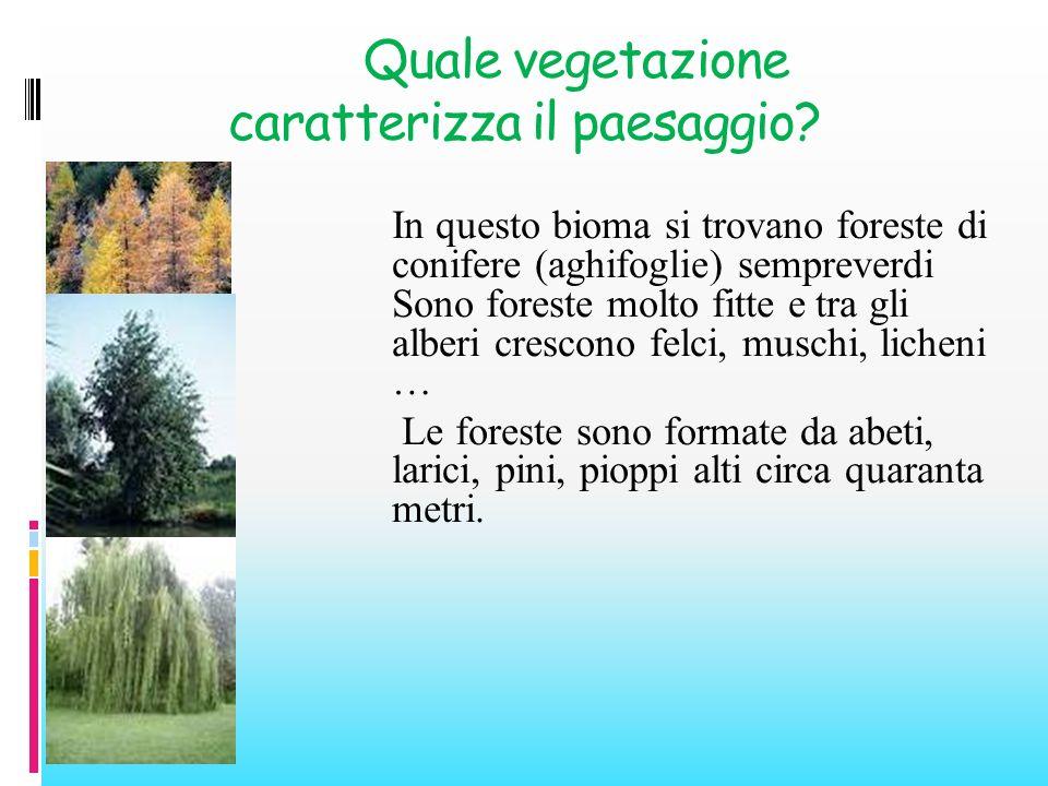 Quale vegetazione caratterizza il paesaggio? In questo bioma si trovano foreste di conifere (aghifoglie) sempreverdi Sono foreste molto fitte e tra gl