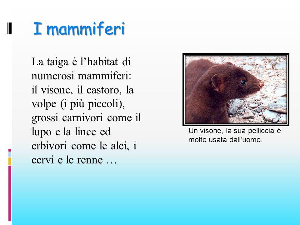 I mammiferi La taiga è lhabitat di numerosi mammiferi: il visone, il castoro, la volpe (i più piccoli), grossi carnivori come il lupo e la lince ed er