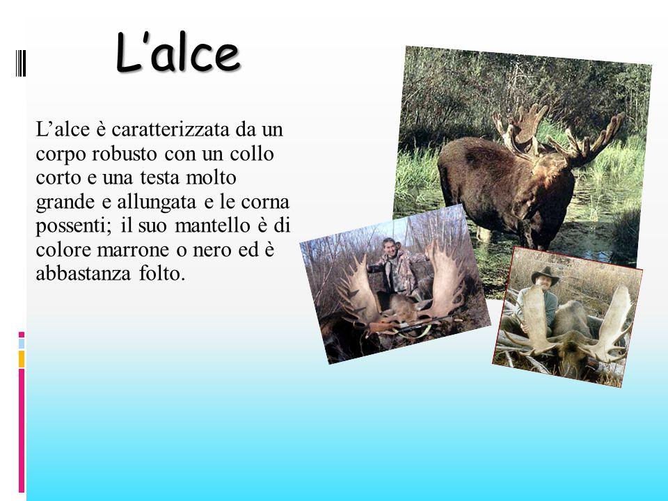 Lalce Lalce è caratterizzata da un corpo robusto con un collo corto e una testa molto grande e allungata e le corna possenti; il suo mantello è di col