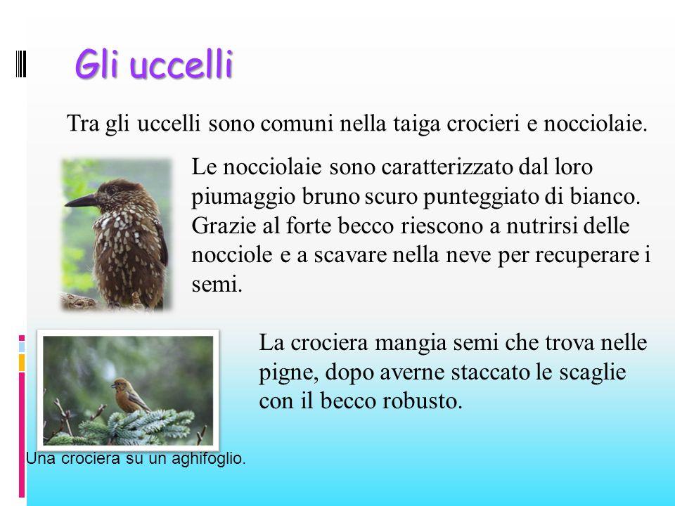 Gli uccelli Tra gli uccelli sono comuni nella taiga crocieri e nocciolaie. Una crociera su un aghifoglio. Le nocciolaie sono caratterizzato dal loro p