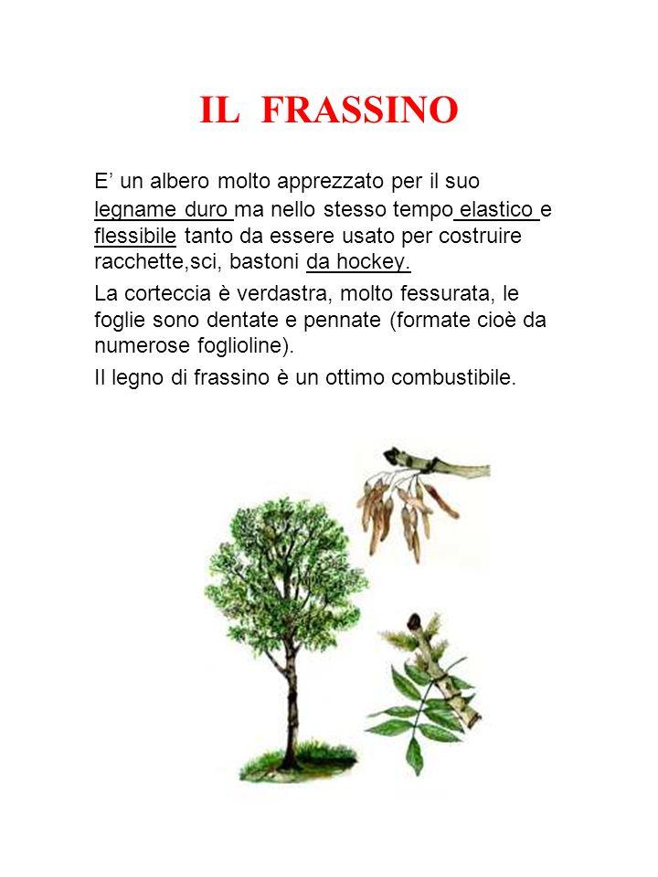 IL FRASSINO E un albero molto apprezzato per il suo legname duro ma nello stesso tempo elastico e flessibile tanto da essere usato per costruire racch