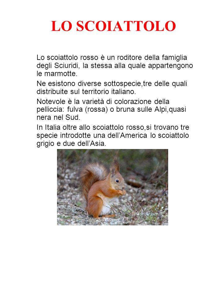 LO SCOIATTOLO Lo scoiattolo rosso è un roditore della famiglia degli Sciuridi, la stessa alla quale appartengono le marmotte. Ne esistono diverse sott