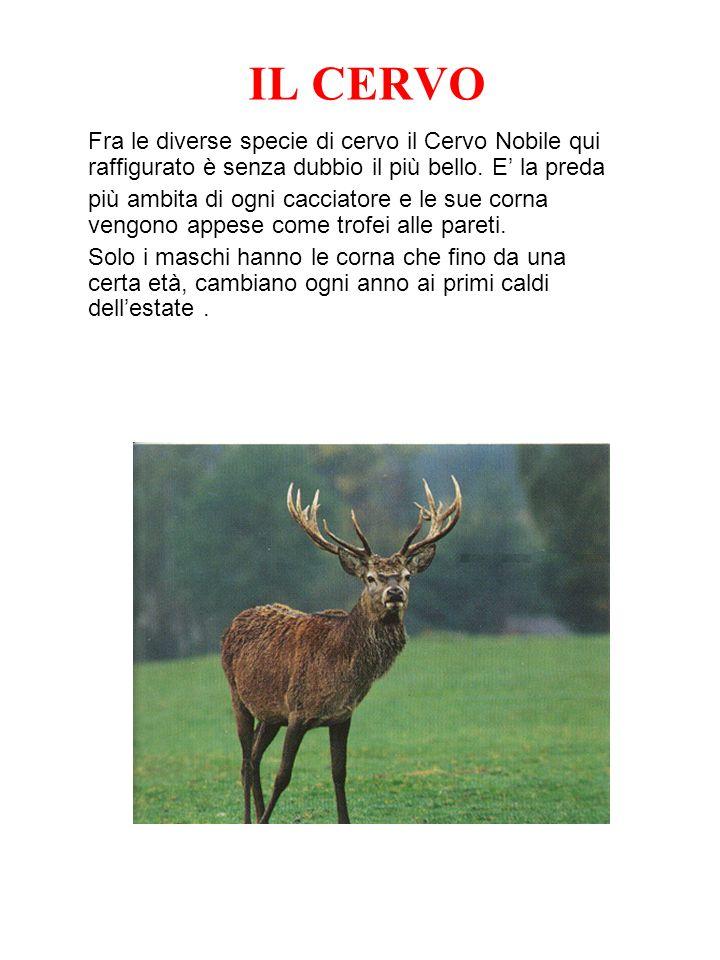 IL CERVO Fra le diverse specie di cervo il Cervo Nobile qui raffigurato è senza dubbio il più bello. E la preda più ambita di ogni cacciatore e le sue