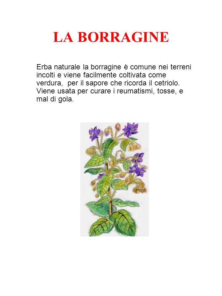 LA BORRAGINE Erba naturale la borragine è comune nei terreni incolti e viene facilmente coltivata come verdura, per il sapore che ricorda il cetriolo.