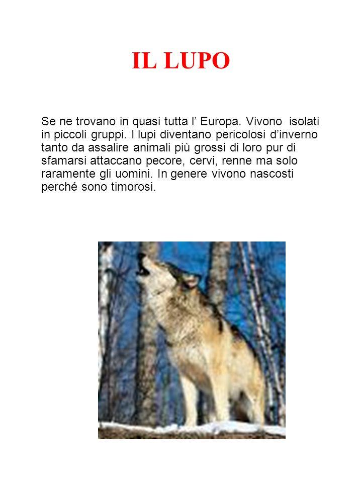 IL LUPO Se ne trovano in quasi tutta l Europa. Vivono isolati in piccoli gruppi. I lupi diventano pericolosi dinverno tanto da assalire animali più gr