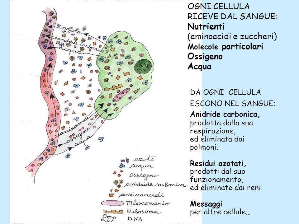 OGNI CELLULA RICEVE DAL SANGUE: Nutrienti (aminoacidi e zuccheri) Molecole particolari Ossigeno Acqua DA OGNI CELLULA ESCONO NEL SANGUE: Anidride carb