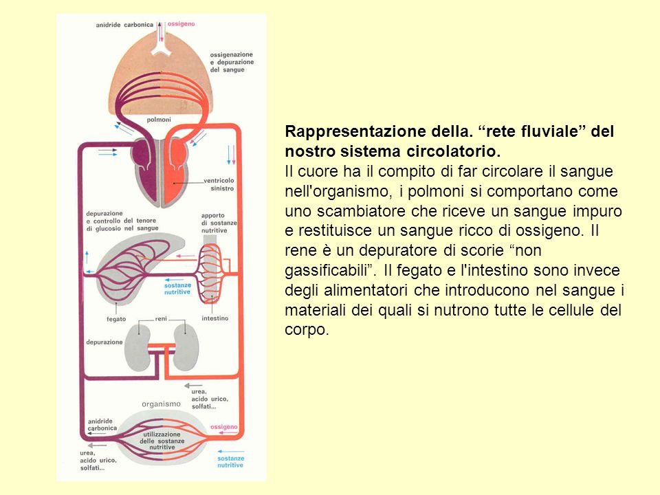 Rappresentazione della. rete fluviale del nostro sistema circolatorio. Il cuore ha il compito di far circolare il sangue nell'organismo, i polmoni si