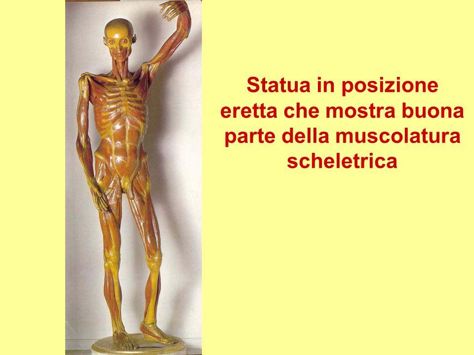 Statua in posizione eretta che mostra buona parte della muscolatura scheletrica