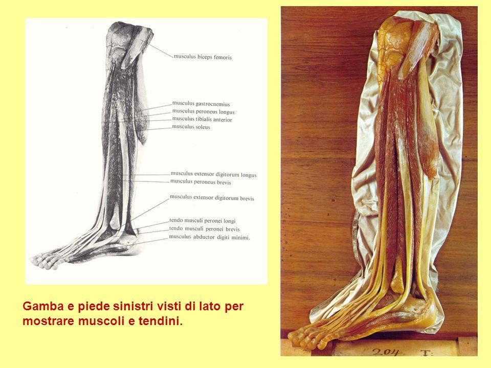 Gamba e piede sinistri visti di lato per mostrare muscoli e tendini.
